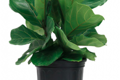 4. Fiddle Leaf Fig (real) $29.97