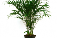 6. Cateracterum Palm (real) $25.65