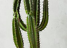 "12. Potted 60"" Cardon Cactus $299.00"